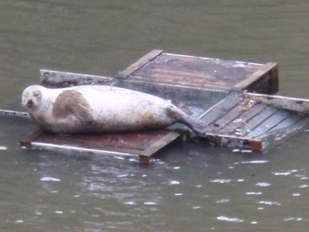 Seal in St Saviour's Dock