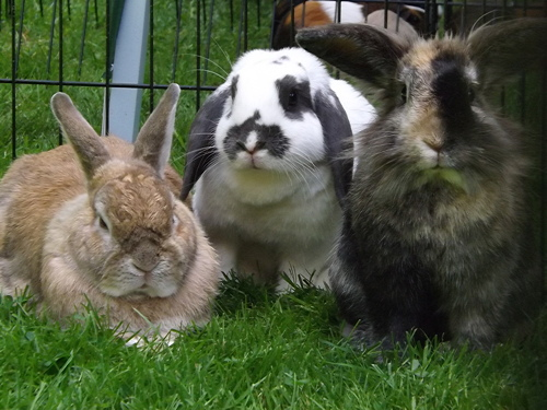 Rabbits from Vauxhall City Farm at SummerFest in A