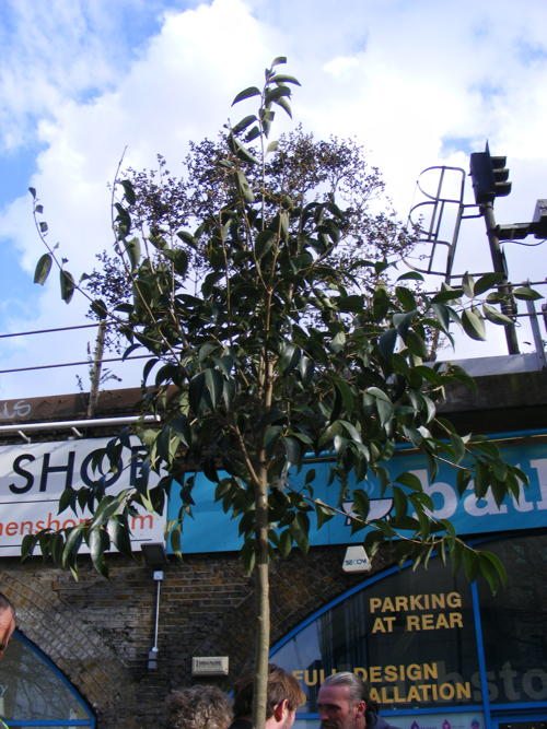 Vauxhall IDAHO tree replanted on Albert Embankment