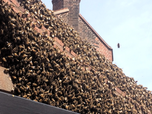 Swarm of bees in Rushworth Street