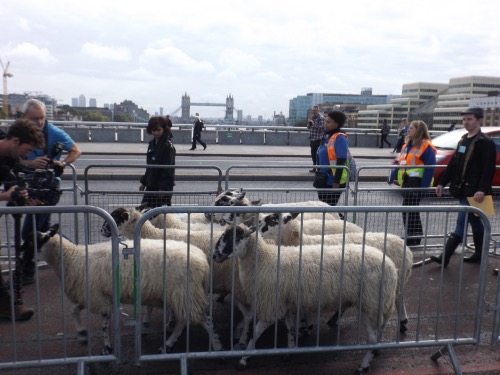 Woolmen stage London Bridge sheep drive