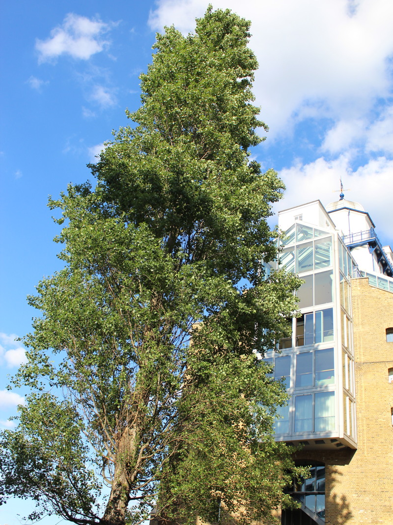 18-metre tree next to Tower Bridge could be felled