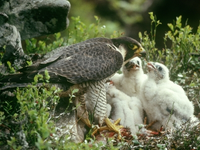 female peregrine at nest with chicks
